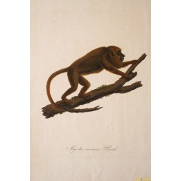 Monkey print, Mycetes ursinus Hand colored Copper engraving 1822
