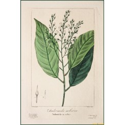 ANDROMEDA ARBOREA-FINE HAND PAINTED BOTANICAL WATERCOLOR-COPPER ENGRAVING 1836