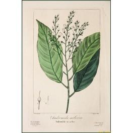 ANDROMEDA ARBOREA-FEIN HANDGEMALTE BOTANISCHE AQUARELL-COPPER ENGRAVING 1836