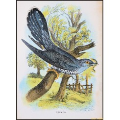 Cuckoo, Antique print, Birds in Nature of Great Britain, by Lloyd 1896