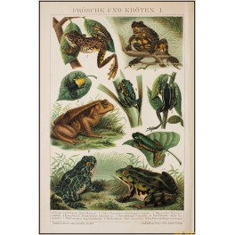 Frogs and Toads, old antique print, Brockhaus encyclopedia 1892