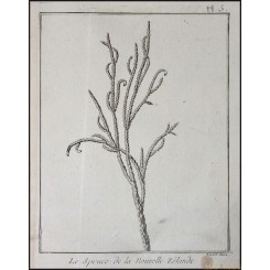 DACRYDIUM CUPRESSINUM OF NEW ZEALAND, RIMU, OLD ENGRAVING BY CAPT. COOK 1775