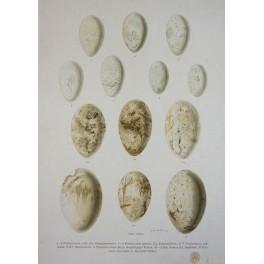 BIRDS EGG PRINT-SALA BASSANA-OLD PRINT-NATURAL HISTORY OF BIRDS-NAUMANN 1897