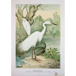 OLD PRINT-NATURAL HISTORY OF BIRDS- GREAT WHITE EGRET-NAUMANN 1897