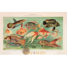 Aquarium Old Antique Print of Tropical Fish. 1905