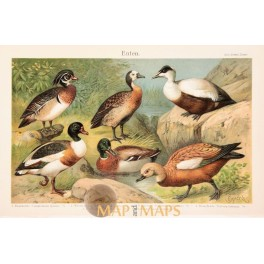 Ducks Old Antique Print of the Anatidae family. 1905