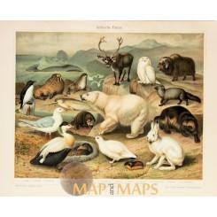 Fauna of the Arctic region Antique Nature Print 1905