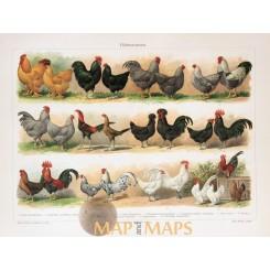 Chicken breeds, Antique Print Phasianidae 1905
