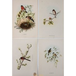 Lot of 4 Vintage Small Passerine Birds Prints after John Gould.