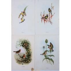 Lot of 4 Vintage Small Passerine Singing Birds Prints.