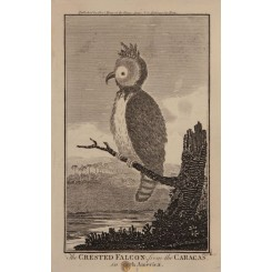 The Crested Falcon from the Caracas Hogg 1790