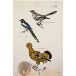 Bird print, Great grey shrike, Magpie, Orange Rock Cock 1880