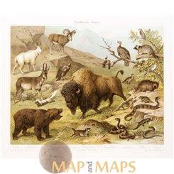 Animals of Nearctic Region, antique print 1905
