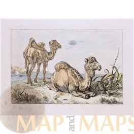ANTIQUE PRINT CAMEL DROMEDARY COPPERPLATE ENGRAVING KLUIN 1832