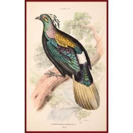 LOPHOPHORUS IMPEYANUS Fine bird print 1896