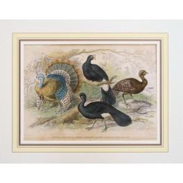 American Wild Turkey antique hand colored print 1836
